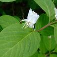 オオヒョウタンボクの花