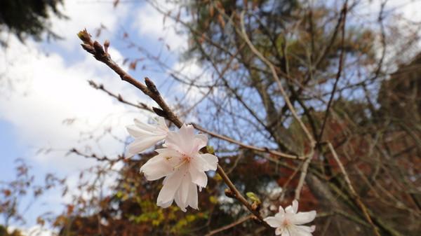 Sakura_dsc02692